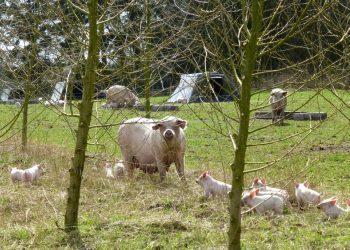 Øget dyrevelfærd er en sidegevinst af at kombinere skovlandbrug med husdyr på friland. Foto: pEcosystems.